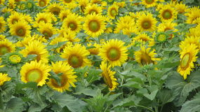 Sunflower field. Commercial sunflower field in Texas Stock Image