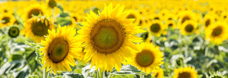 Sunflower Field in the countryside Stock Photos