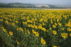 Sunflower field with countryside in Italy. stock photos