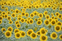 Sunflower field. Sunflower crop in the field Stock Images