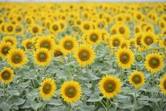 Sunflower field. Sunflower crop in the field Royalty Free Stock Image