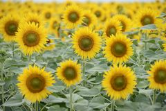 Sunflower field. Sunflower crop in the field Royalty Free Stock Photos