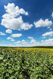 Sunflower field with cumulus clouds Royalty Free Stock Photo