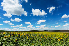 Sunflower field with cumulus clouds Royalty Free Stock Photos