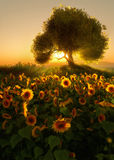Sunflower Field, 3d CG. 3D computer graphics of a sunflower field at sunrise Royalty Free Stock Photo