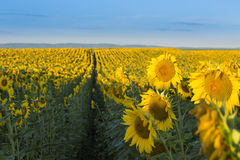 Sunflower field at dawn in flowering stage Royalty Free Stock Photography