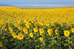 Sunflower field at dawn in flowering stage. Stock Photos