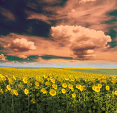 Sunflower field at dawn in flowering  stage. Stock Photography