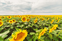 Sunflower field at dawn in flowering stage Stock Image