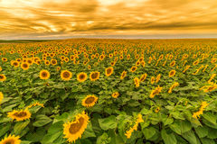 Sunflower field at dawn in flowering stage Royalty Free Stock Photos