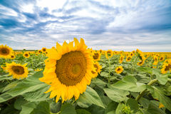 Sunflower field at dawn in flowering stage Royalty Free Stock Images