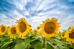 Sunflower field at dawn in flowering stage Stock Images