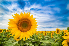 Sunflower field at dawn in flowering stage.  stock photo