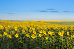 Sunflower field at dawn inflowering  stage. Royalty Free Stock Photography