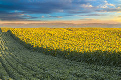 Sunflower field at dawn next to soybean field in flowering  stage. Stock Photos