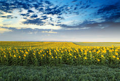 Sunflower field at dawn next to soybean field in flowering  stage. Stock Images