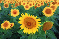 Sunflower field at dawn before sunrise Royalty Free Stock Photos