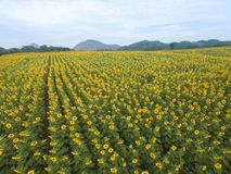 Sunflower field in a daytime. Yellow sunflower field and meadows in a daytime, central Thailand Stock Photography
