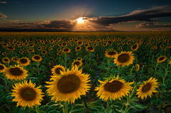 Sunflower Field Of Dreams. The sunflowers seemed to go on forever in this image taken near Denver International Airport in Colorado Royalty Free Stock Images
