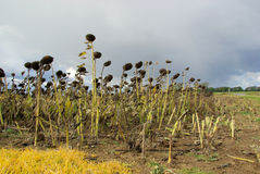 Sunflower field drought Royalty Free Stock Photo