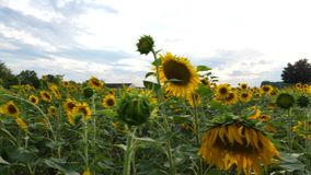 Sunflower field at dusk - tracking shot. Of agricultural area. Aerial view stock video footage