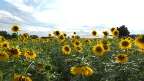Sunflower field at dusk - tracking shot. Of agricultural area. Aerial view stock footage
