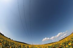Sunflower field with electric power line Royalty Free Stock Photos