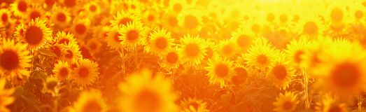 Sunflower field in evening backlight. Picture of a sunflower field in evening backlight Stock Photography