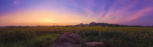 Sunflower field at evening Royalty Free Stock Photo