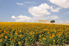 Sunflower field farm Royalty Free Stock Image