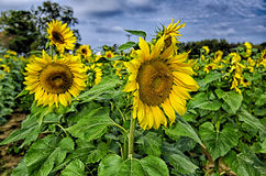 Sunflower field on a farm somewhere in south carolina usa stock photos