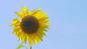 Sunflower field on farm in suburbs.