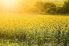 Sunflower field. Sunflower fileld in early summertime with sunshine stock photography