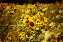 Sunflower field with focus on the middle plant Stock Photo