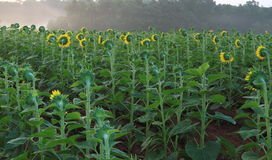 Sunflower Field in Foggy Morning Royalty Free Stock Image