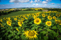 Sunflower field in France. A sunflower field in France close to Toulouse Stock Images