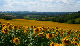 Sunflower Field in France Stock Image