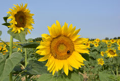 Sunflower Field in Friuli Stock Photo