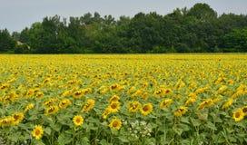 Sunflower Field in Friuli Royalty Free Stock Image