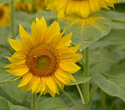 Sunflower Field in Friuli Royalty Free Stock Photos