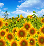 Sunflower field in front of blue sky Royalty Free Stock Photos