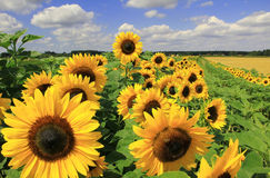 Sunflower field full bloom Royalty Free Stock Photo