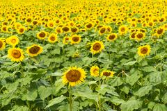 Sunflower field at full bloom Stock Images