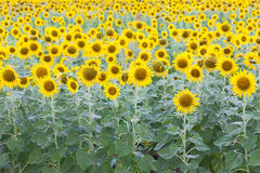 Sunflower field full bloom Stock Image