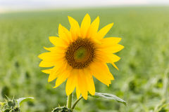 Sunflower in Field Stock Photography