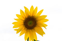 Sunflower in Field Royalty Free Stock Image