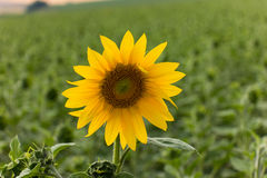 Sunflower in Field Royalty Free Stock Images