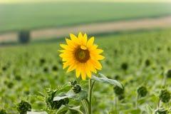 Sunflower in Field Stock Photos
