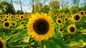 Sunflower in the field. Full of sunflowers blossom Royalty Free Stock Images