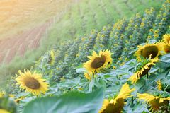 Sunflower field in the garden. Flower natural background concept stock photos